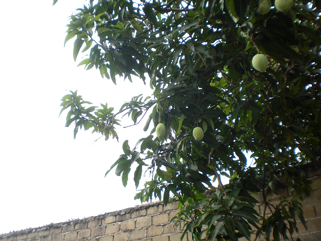 Mango Tree at Muntok Graveyard